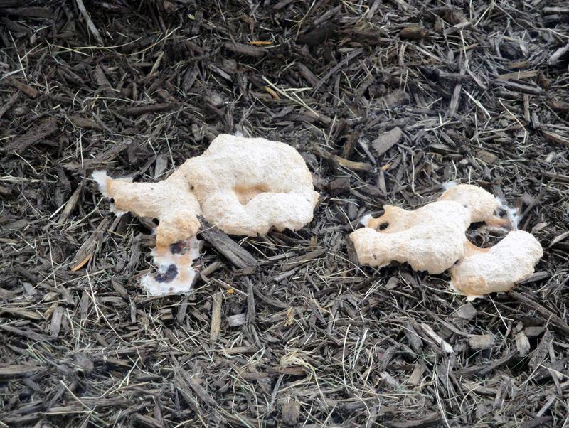 Dog Barf Fungus