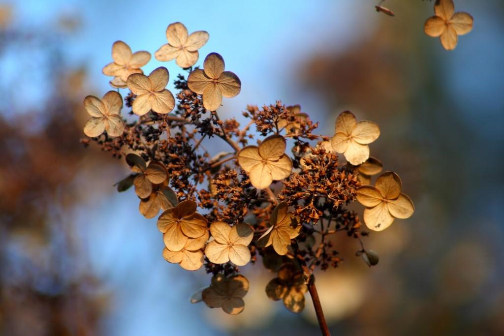 a dead hydrangea blossom
